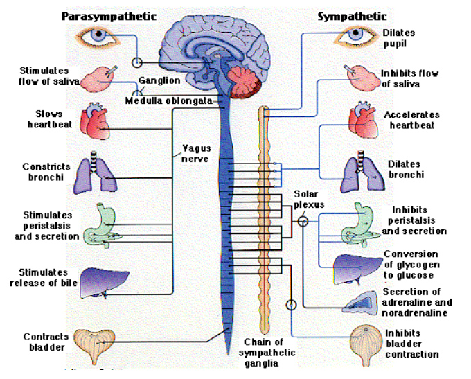 Autonomic nerve function